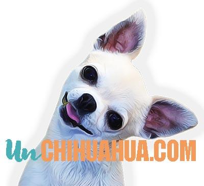 chihuahua_cabeza_de_manzana