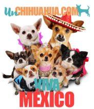 El origen del chihuahua en México o en Europa, dónde nace el chihuahua como raza. Los perros chihuahua con sombrero mexicano Viva mexico