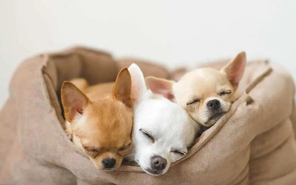 Tipos de perros chihuahuas o chiguaguas, Adoptar un chihuahua