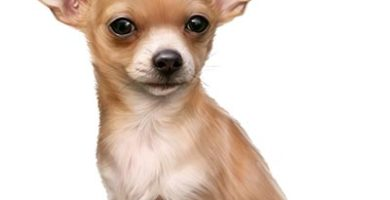Un Chihuahua