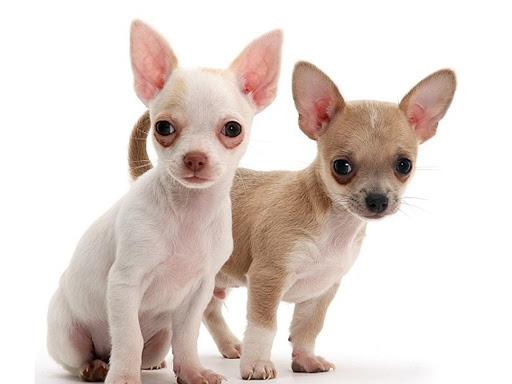 cachorros de perros chihuahuas