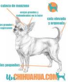 chihuahua raza puro