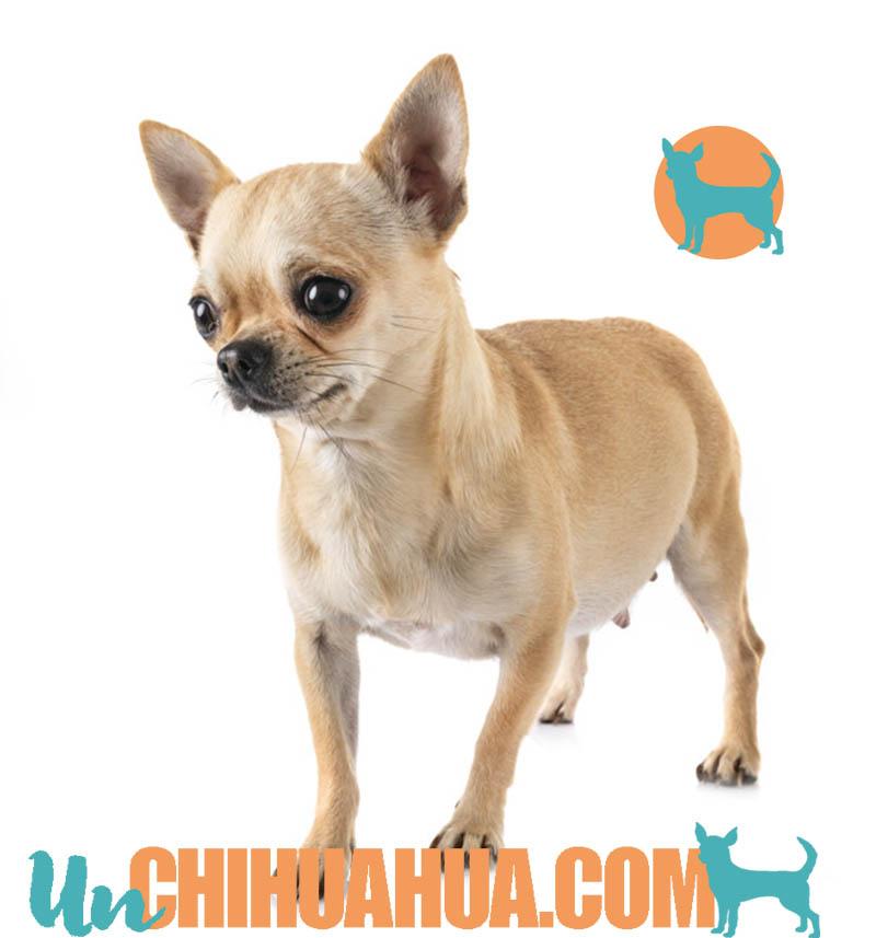 Una perra chihuahua emabarazada, sus cuidados durante el embarazo y puerperio. Embarazo de un chihuahua, cuidados