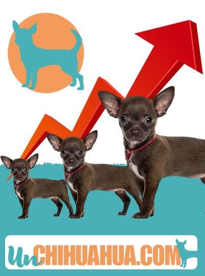 edad deja de crece un chihuahua, de cachorro a chihuahua adulto. Cuidados, alimentación, cambios físicos en la etapa de crecimiento.