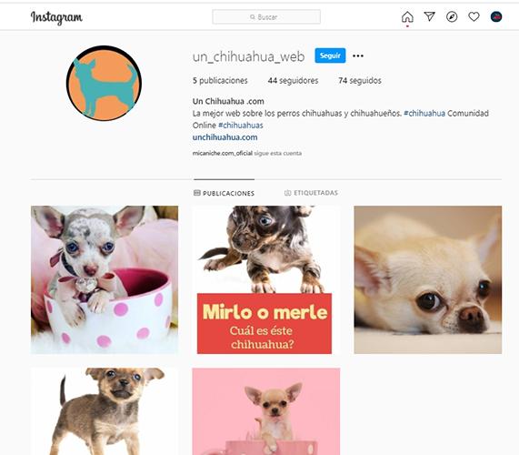 Nuestra cuenta de instagram sobre perros de raza chihuahua o chiguaguas en ig