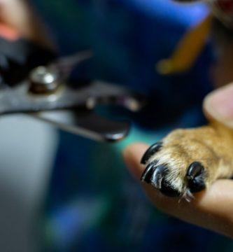 cortar las uñas a un perro chihuahua