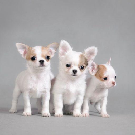 Cachorros de perros chihuahuas de pelo largo, color blanco con manchas apricot. Perritos chihuahuas o chiwawas. Chihuahueño cachorrro