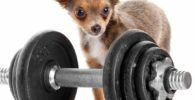 como entrenar un chihuahua