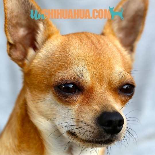 El chihuahua cabeza de venado y su particular rostro.