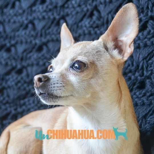 El característico hocico prominente del chihuahua cabeza de venado.
