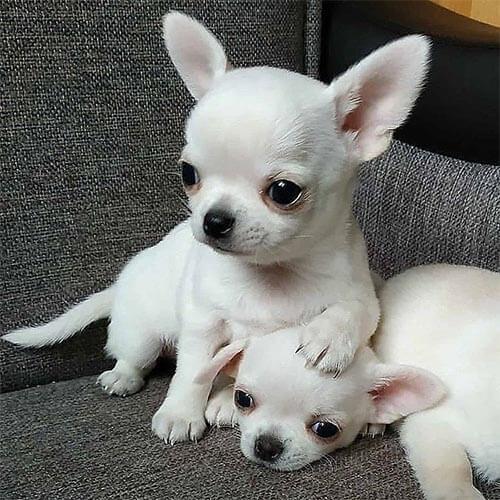 Una perra chihuahua adulta color blanca de pelo corto con su adorable cachorro de igual color.