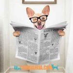 Cómo educar a un chihuahua cachorro para ir al baño