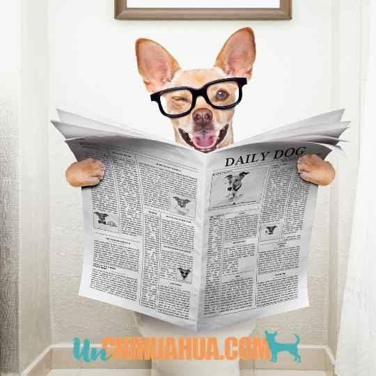 Cómo educar a un perro chihuahua cachorro para ir al baño ?