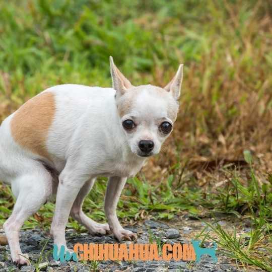 Entrenar al chihuahua cachorro para ir al baño donde debe
