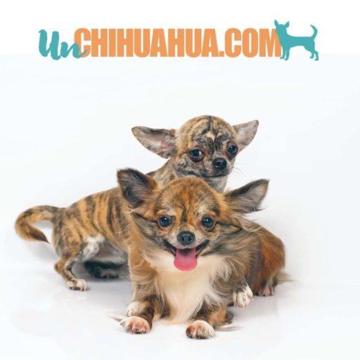 Dos chihuahuas color atigrado - El de atrás en de pelo corto y el del frente de pelo largo. Colores del chihuahua