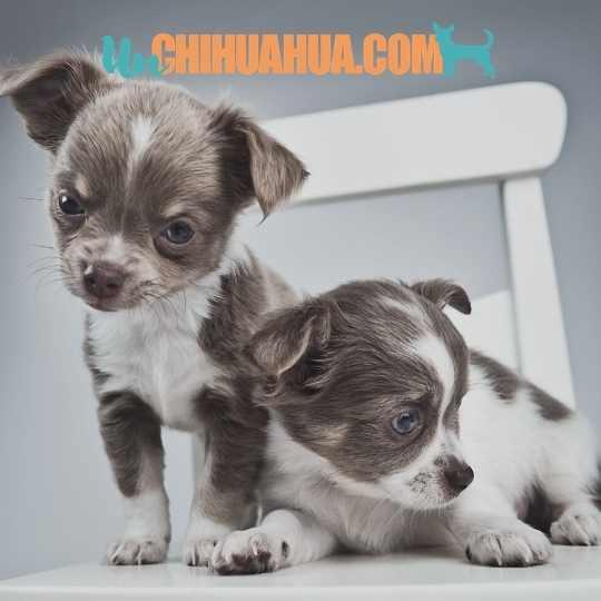 Dos adorables cachorros chihuahua azul tricolor- Azul y tostado con blanco