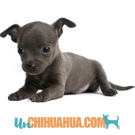 colores de los perros chihuahuas: un cachorro azul