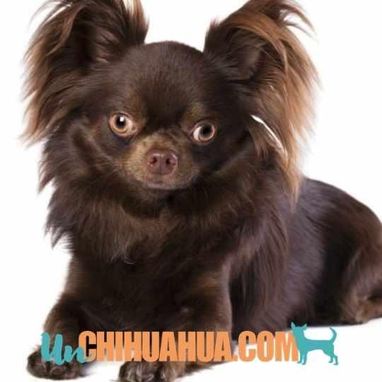 El chihuahua color chocolate o marrón