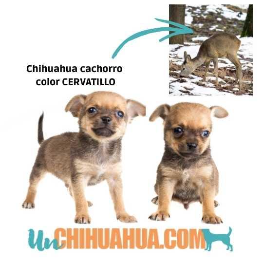Chihuahua cachorro color sable cervatillo, uno de los colores del chihuahua más comunes.