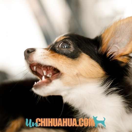 Chihuahua ladrando