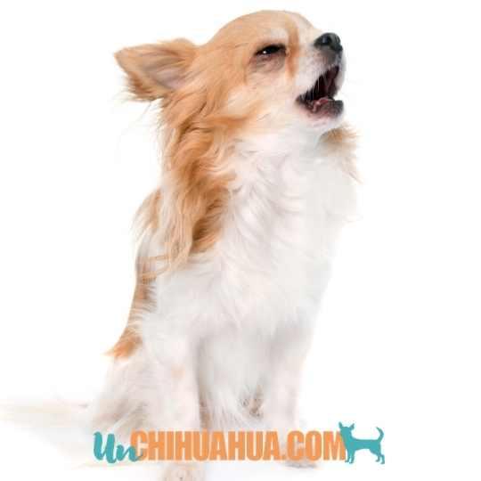 Cómo educar a un perro chihuahua cachorro para que no ladre?