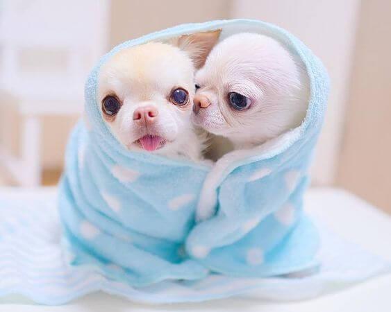 Dos cachorros chihuahuas de entre 4 y 6 semanas de vida. Cachorros chihuahua bebés.