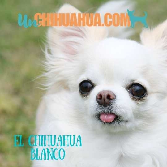 Chihuahua blanco pelo largo