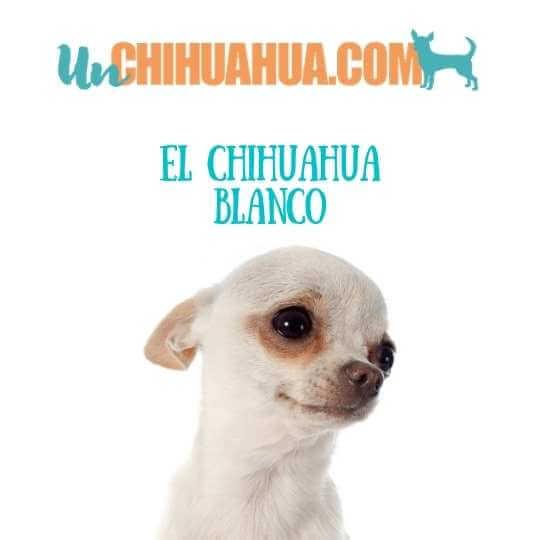 chihuahua blanco pelo liso