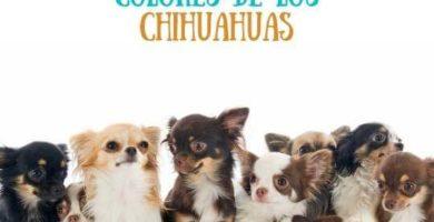 Descubre aquí la gran variedad de colores del chihuahua. Todos los chihuahuas y sus colores. Los colores de chihuahuas aprobados
