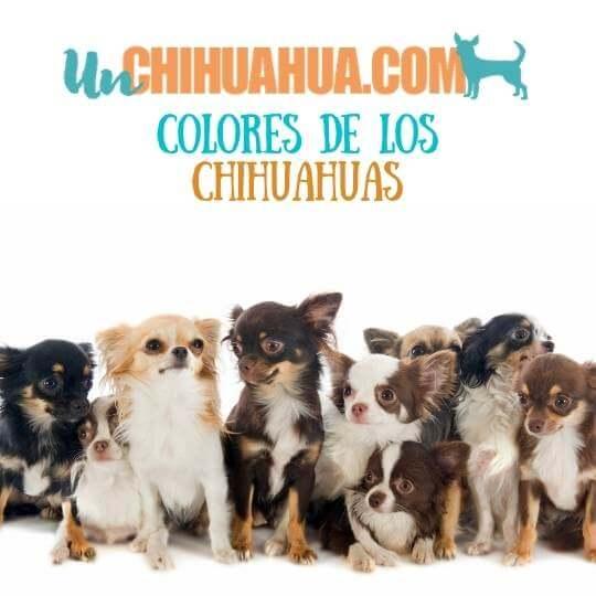 Descubre aquí todos los colores de los perros chihuahuas. Colores del chihuahua