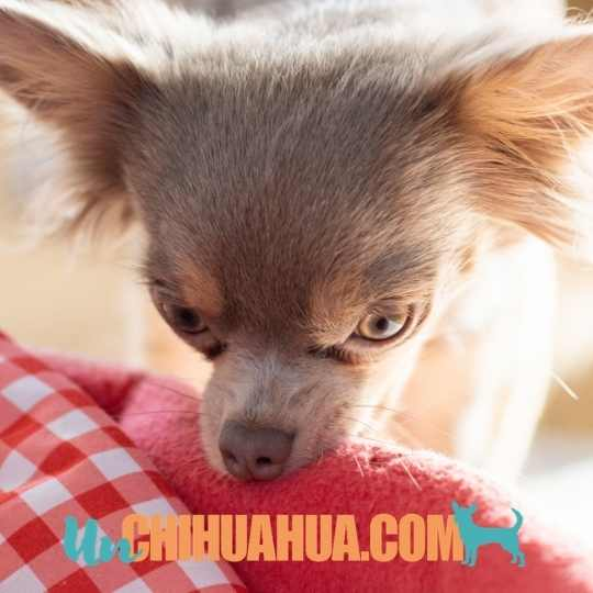 Chihuahua color lavanda o lila.