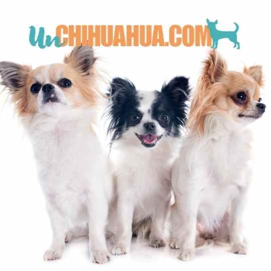 Tres bellos ejemplares de chihuahuas de pelo largo color moteado o Piebald. Los colores de los chihuahuas. todos aquí en unchihuahua.com