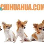 Crecimiento de un chihuahua y la edad del chihuahua