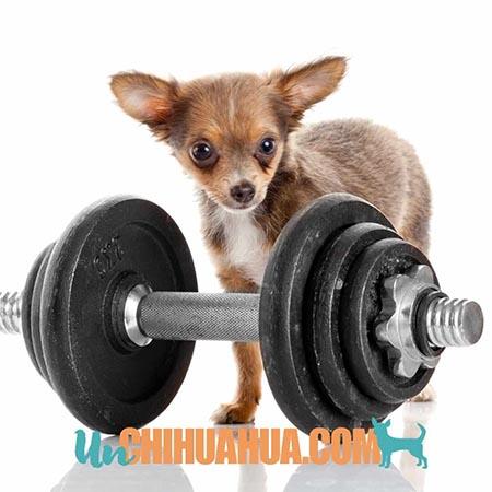 Consejos para entrenar un cachorro chihuahua