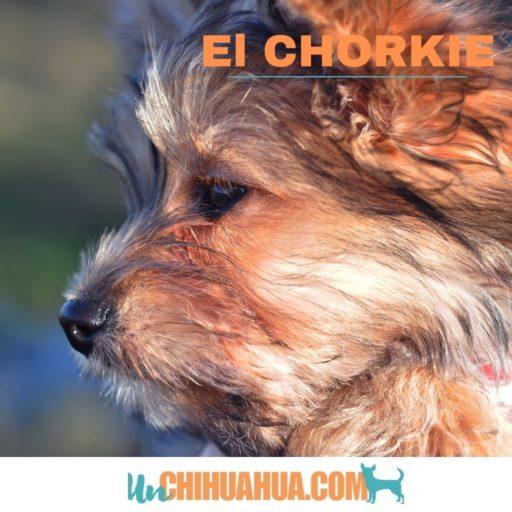 Características del chorkie