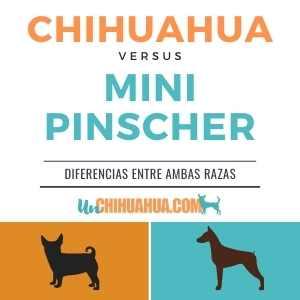 ▷chihuahua vs pincher miniatura