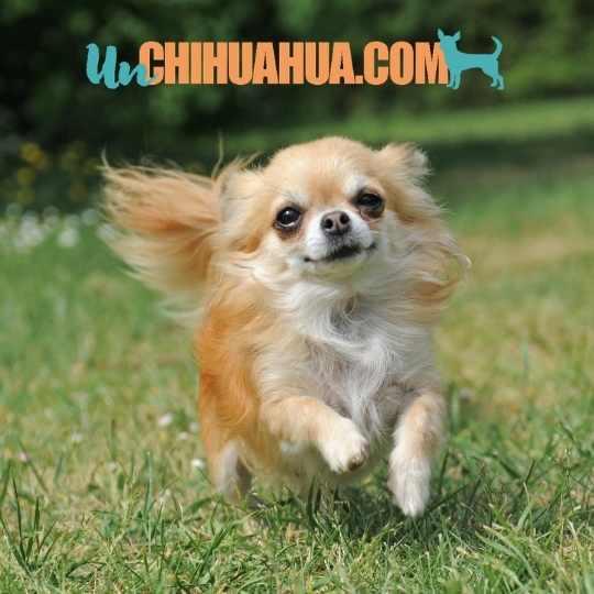 Un bello chihuahua de pelo largo corriendo por un jardín