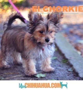 El chorkie, mezcla de chihuahua y yorkshire