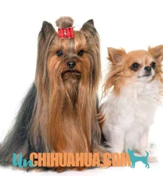 ▷ Yorkshire vs Chihuahua con cual te quedas? Chihuahua o Yorkshire terrier