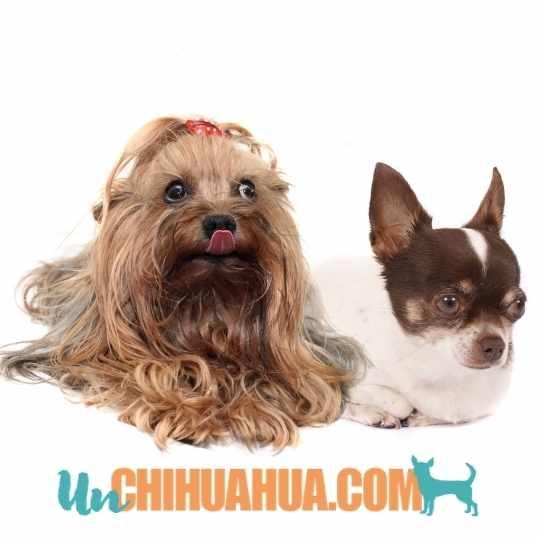 Yorkshire Terrier o chihuahua de pelo corto