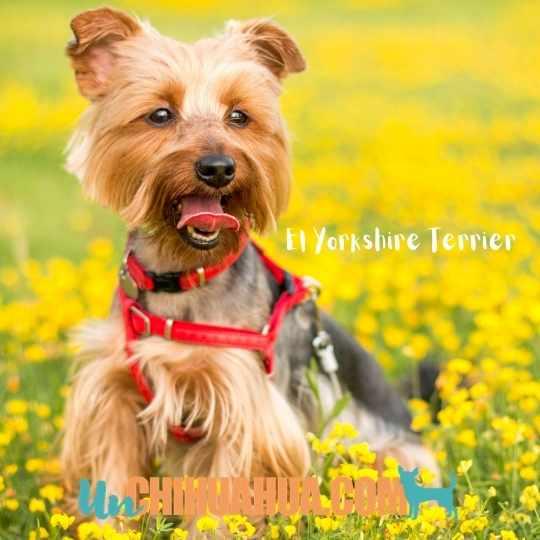 Un bello Yorkshire Terrier con pelo cortado en un jardín de flores