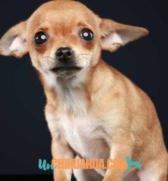 Chihuahua tímido