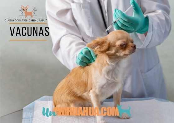 Cuidando a tu chihuahua, las vacunas son algo muy importante para cuidarlos bien. Vacunas del perro chihuahua. Vacunas para chihuahuas