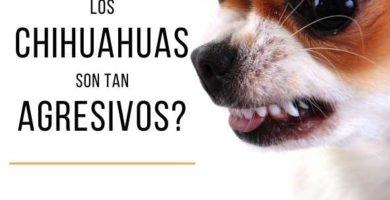 chihuahua agresivo