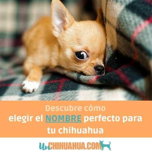 Descubre cómo elegir correctamente el nombre perfecto para tu perro chihuahua.