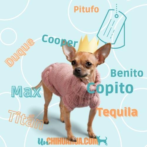 Elije entre más de 200 nombres para perros chihuahuas aquí