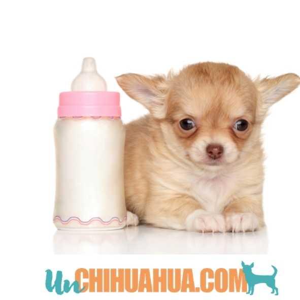 Biberón para un chihuahua bebé destetado demasiado pronto