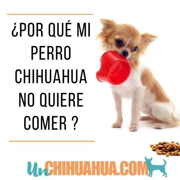 Por qué mi chihuahua no quiere comer? Razones y soluciones