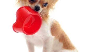 Qué NO puede comer un perro chihuahua