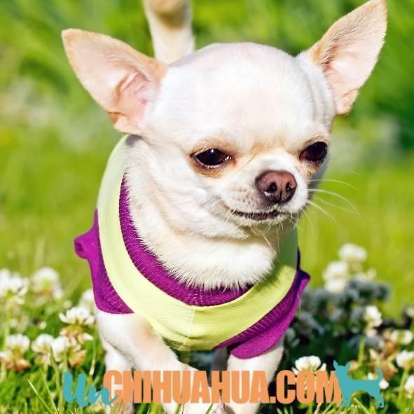 Chihuahua blanco al Sol